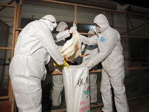 Các nhân viên y tế tịch thu gia cầm tại TP Chư Kỵ ở tỉnh Chiết Giang - Trung Quốc Ảnh: Reuters