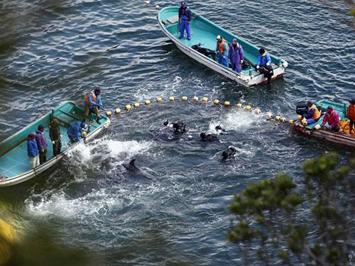 Cảnh bắt cá heo của ngư dân Taiji hôm 20-1 Ảnh: REUTERS