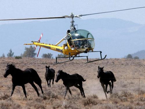 Ngựa hoang bị thương và không được điều trị đàng hoàng sau các cuộc càn quét Ảnh: AP