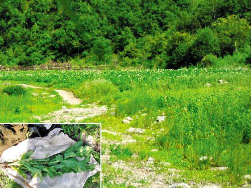 Tấm ảnh được cho là chụp cánh đồng cây thuốc phiện ở Triều Tiên Ảnh: THE CHOSUN ILBO