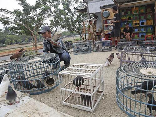 Người dân Indonesia chăm bồ câu đua ở thủ đô Jakarta Ảnh: AP