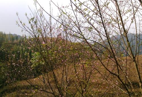 Đào rừng nở thắm núi rừng Thanh Hóa.