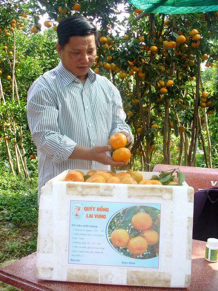 Anh Tính cho biết quýt hồng Lai Vung đã được chứng nhận độc quyền nhãn hiện và sản xuất theo quy trình VietGAP.