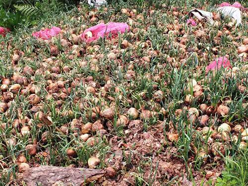 Hành tây bị nhà vườn ở Đà Lạt đổ bỏ
