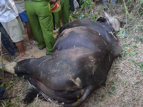 Con bò tót đã chết sau khi húc 5 người