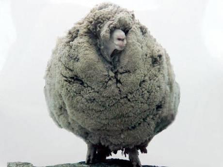 ...và chú cừu Shrek có bộ lông nặng nhất thế giới hiện tại. Ảnh: Independent