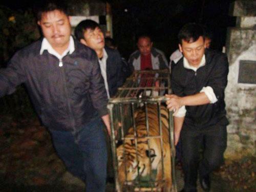 Hai con hổ được bàn giao cho Trung tâm Cứu hộ động vật hoang dã Sóc Sơn vào sáng 7-12