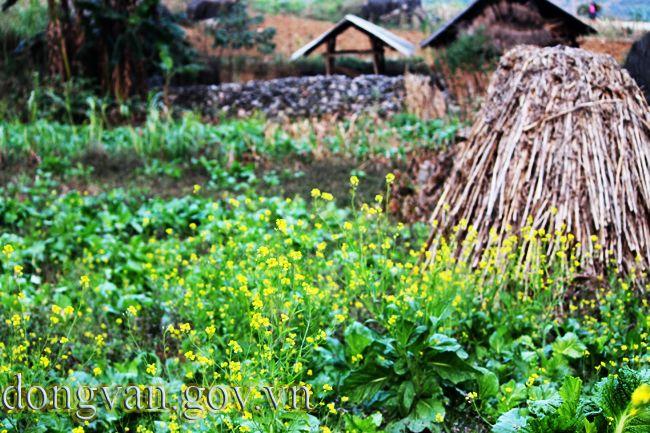 Rực rỡ hoa cải vàng sau mùa giá buốt