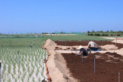 Công nghệ trồng tỏi trên huyện đảo Lý Sơn.