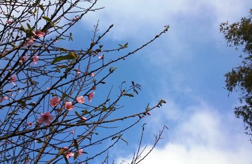 Đào phai nở đẹp lung linh giữa nền trời xanh.