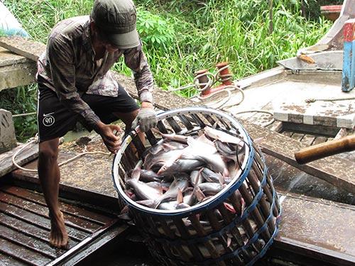 Xuất khẩu thủy sản là thế mạnh của Việt Nam nhưng để sản xuất bền vững, nâng cao năng lực cạnh tranh thì cần tái cơ cấu lại một cách căn bản. Trong ảnh: Thu hoạch cá tra tại huyện Phụng Hiệp, tỉnh Hậu GiangẢnh: CA LINH