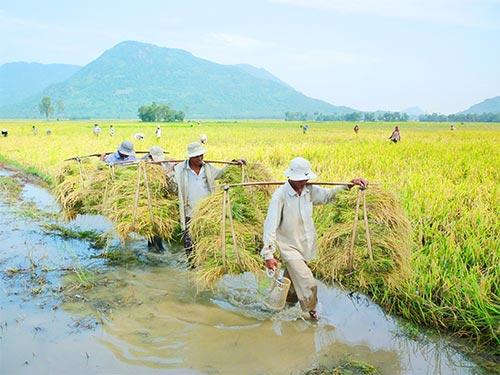 Nông dân ĐBSCL hiếm khi yên tâm về giá lúa gạo Ảnh: ĐINH THANH VÂN