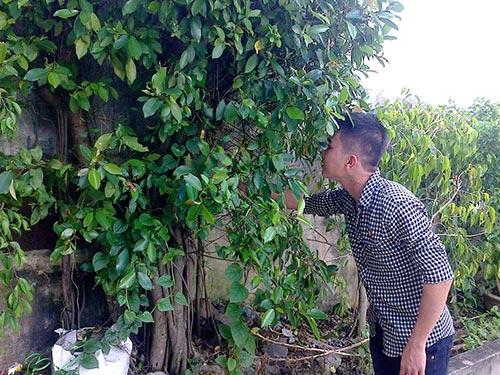 Theo anh Công, cây si đỏ này có giá hàng trăm triệu đồng.