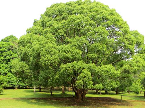 Tán cây xum xuê ở vườn bách thảo Myanmar.