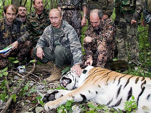 Tổng thống Putin thả 3 con hổ Siberia về tự nhiên hồi tháng 5-2014  Ảnh: Barcroft