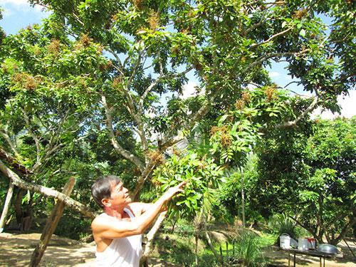 Nhà vườn trồng nhãn tại ĐBSCL thất thu vì nhãn nhiễm bệnh chổi rồng Ảnh: Ngọc Trinh