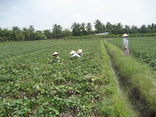 Diện tích trồng khoai lang ở Vĩnh Long đang tăng lên bất thường