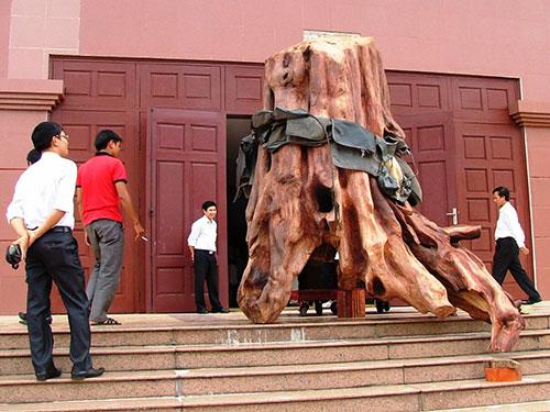 Gốc sưa định giá 17 tỉ đồng được đưa vào Bảo tàng Tổng hợp tỉnh Quảng Bình