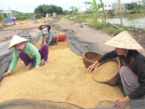 Nông dân ĐBSCL thu hoạch lúa Ảnh: CA LINH
