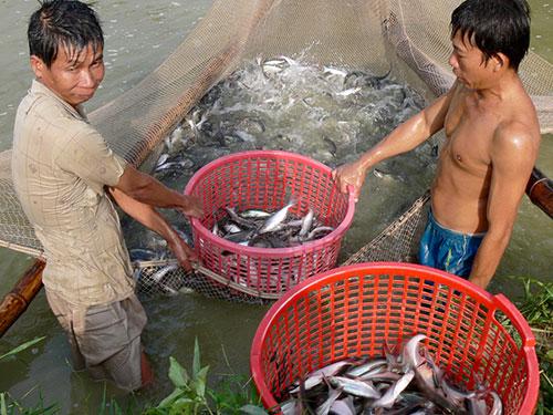 Thu hoạch cá tra ở An Giang Ảnh: THANH VÂN
