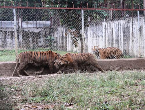 3 trong số 11 con hổ nuôi nhốt tại xã Xuân Tín, huyện Thọ Xuân