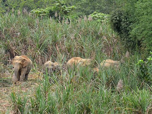 Đàn voi rừng về phá hoa màu người dân ở xã Phúc Sơn, huyện Anh Sơn, tỉnh Nghệ An ngày 6-3                  Ảnh: Quang Dũng