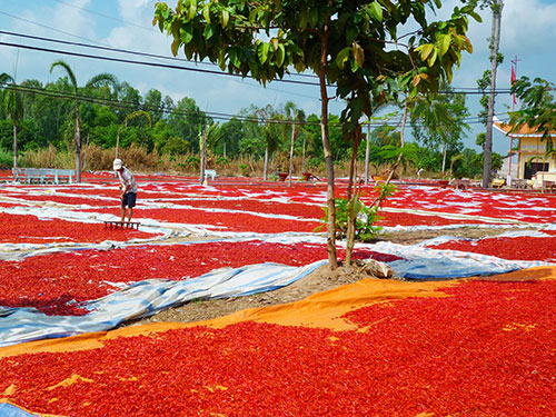 Khoảng 80% sản lượng ớt của nông dân tỉnh Đồng Tháp xuất theo đường tiểu ngạch sang Trung Quốc nên giá cả luôn bấp bênh Ảnh: Thanh Vân