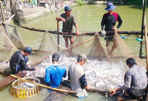 Nông dân ĐBSCL thu hoạch cá tra Ảnh: THỐT NỐT