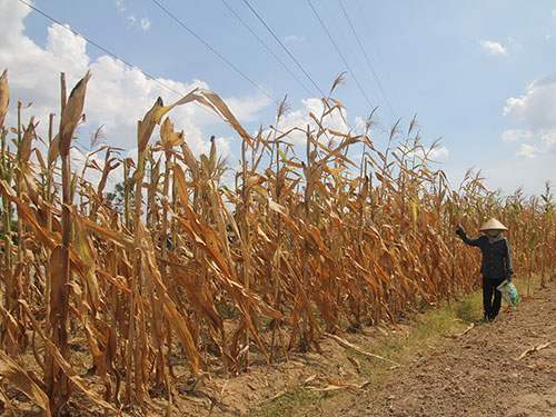 Nắng nóng làm hàng ngàn hecta bắp tại huyện Thanh Chương, tỉnh Nghệ An héo, chết