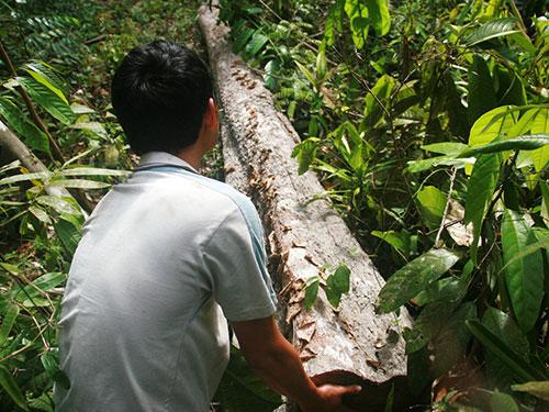 Một cây ươi rừng ở xã Trà Giác, huyện Bắc Trà, tỉnh Quảng Nam bị đốn hạ để tận thu hạt