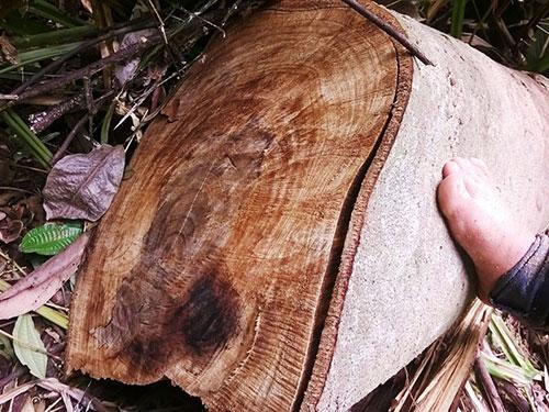 Một cây rừng lớn bị lâm tặc đốn hạ