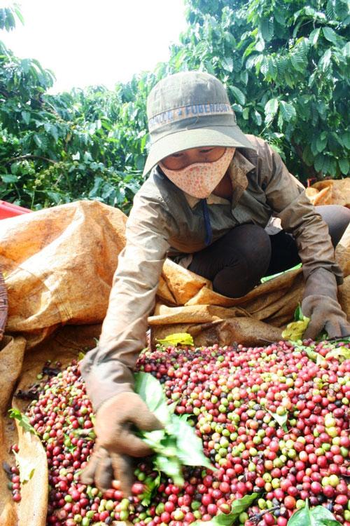 Người trồng cà phê tại Tây Nguyên chờ giá lên thêm