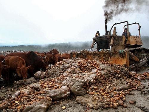 Tiêu hủy khoai tây Trung Quốc có dư lượng độc tố vượt mức cho phép tại TP Đà Lạt, tỉnh Lâm Đồng Ảnh: PHÙ DUNG