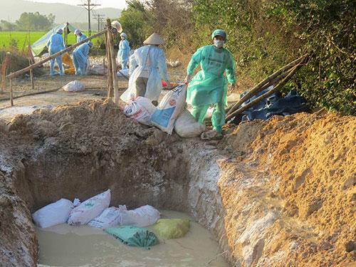 Tiêu hủy gia cầm nhiễm cúm A/H5N1 tại huyện Đức Phổ, tỉnh Quảng Ngãi Ảnh: TRANG THY