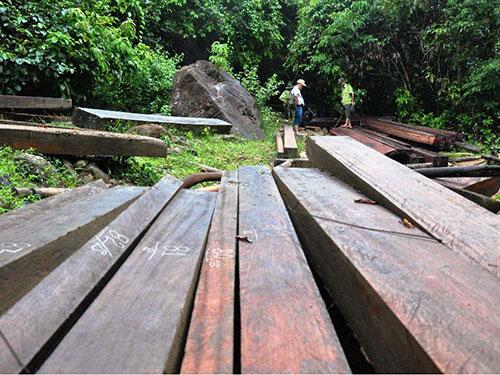 Những phách gỗ quý bị khai thác trái phép được phát hiện tại địa phận huyện Nông Sơn, tỉnh Quảng Nam mới đây Ảnh: CÔNG THÀNH