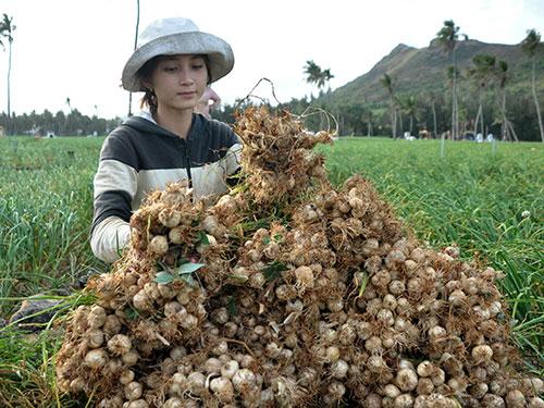 Hành, tỏi là nông sản có thế mạnh của huyện đảo Lý Sơn Ảnh: Tử Trực