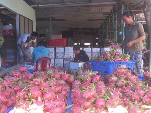Giá thanh long ở Bình Thuận rớt thê thảm do đang bị ép giá