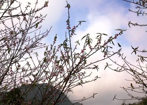 Đào rừng đua nhau nở thắm vùng cao