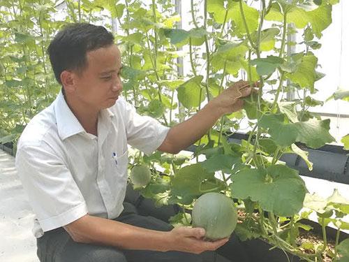 Anh Hoàng Đắc Hiệt đang chăm sóc dưa lưới trong nhà màng