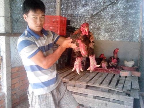 Anh Trần Văn Toản và những con gà Đông Tảo trưởng thành