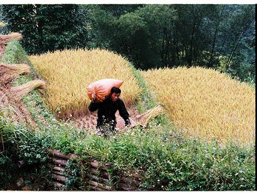 Người dân gặt lúa trên thửa ruộng bậc thang của gia đình
