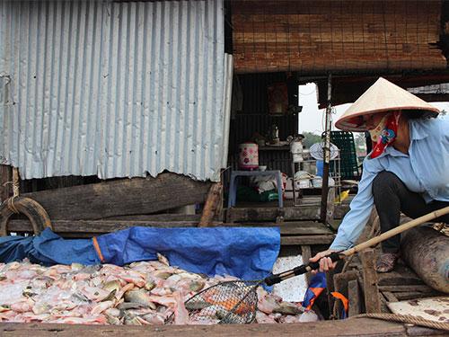 Cá nuôi chết hàng loạt, có hộ làng bè bị thiệt hại đến hơn 10 tấn