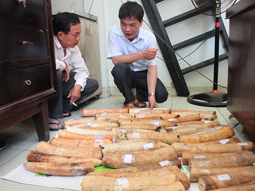 Ngà voi được kiểm lâm TP HCM thu giữ từ các vụ buôn bán trái phép