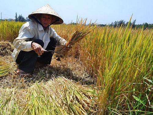 Thời tiết khô hạn kéo dài, nhiều cánh ruộng lúa của nông dân ở Quảng Ngãi không có nước tưới, lúa chưa trổ bông đã úa vàng Ảnh: Tử Trực