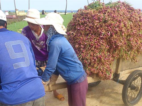 Nông dân Lý Sơn thu hoạch củ hành