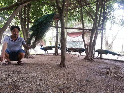 Ông chủ Vườn Chim Việt sắp đưa loài công ra khỏi Sách đỏ