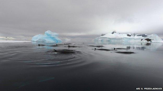 Các nhà khoa học cho biết âm thanh cạc cạc là tiếng trò chuyện dưới nước của cá voi mũi nhọn ở Nam Cực