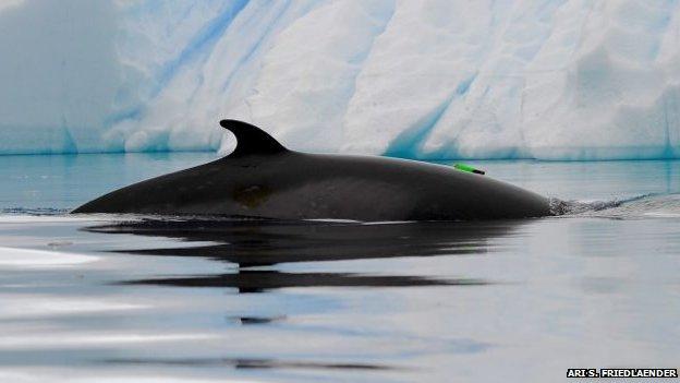 Thiết bị ghi âm được gắn vào hai con cá voi mũi nhọn