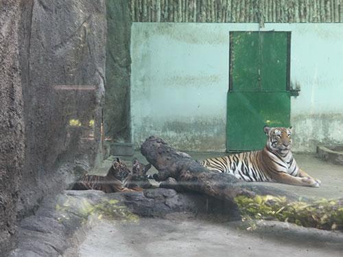 Hổ mẹ tên Mi và các con