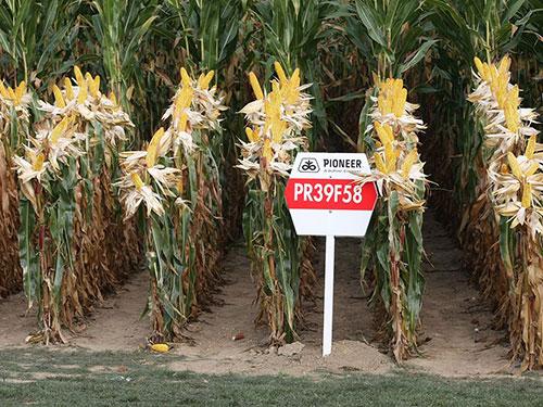 Bắp giống của Công ty Monsanto Co. Ảnh: Getty